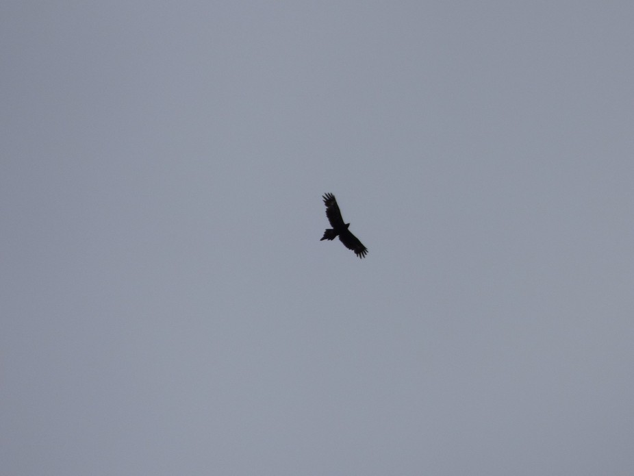 Wedge tail flying overhead
