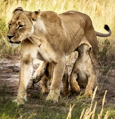 milk on the move_lioness and cubs