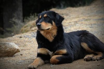 The Royal Dog