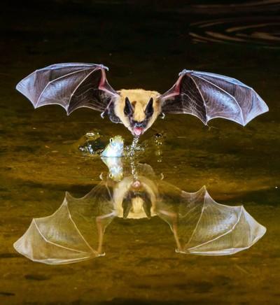 Myrtis bat