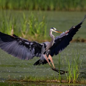Great Blue Heron coming in for a quick landing