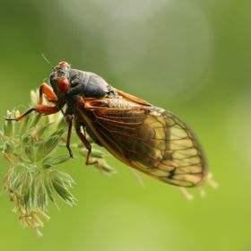 Took this at Camp Wakonda, Nebraska. I found out that these particular cicada live underground for 17 years and then come out for 3 weeks before ...