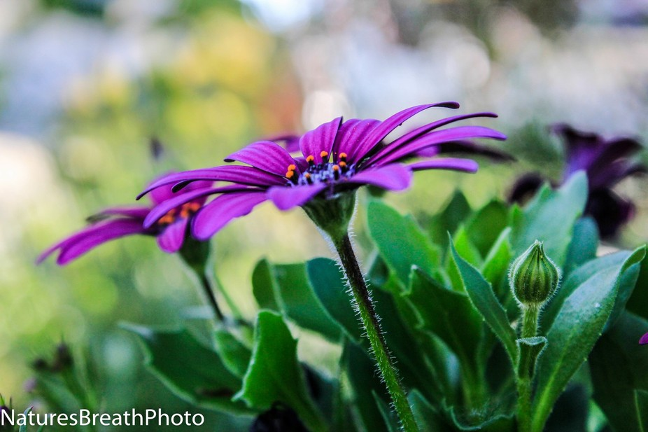 purple is blooming with flowers