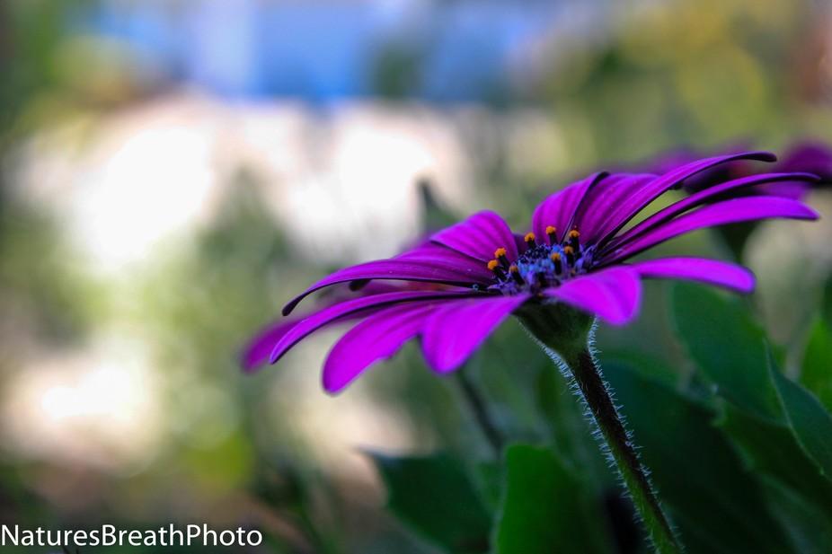 single purple flower blooming