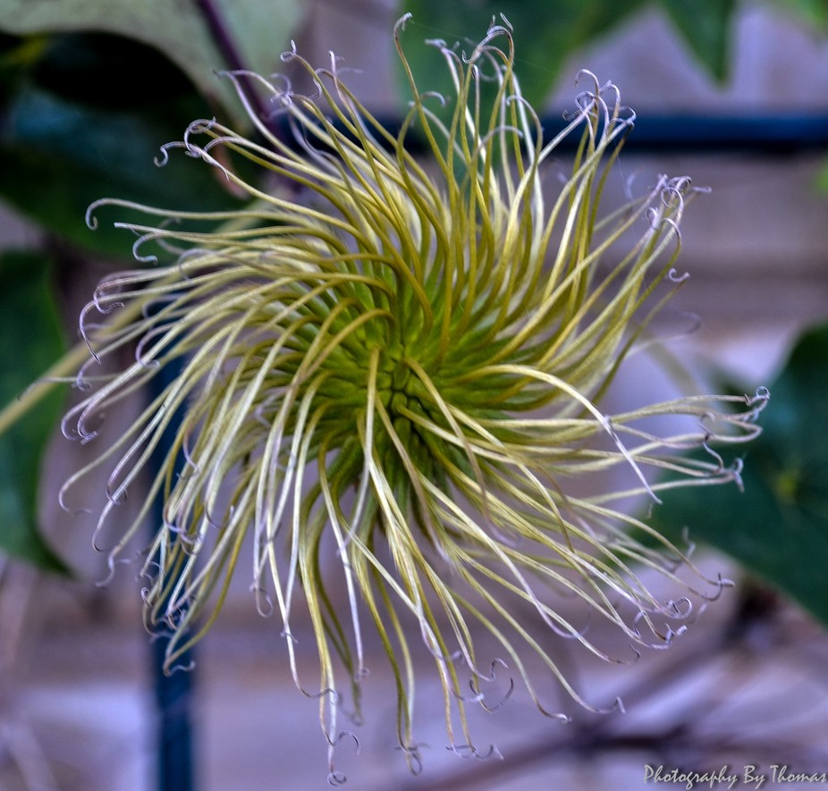 Clematis (After Flower)