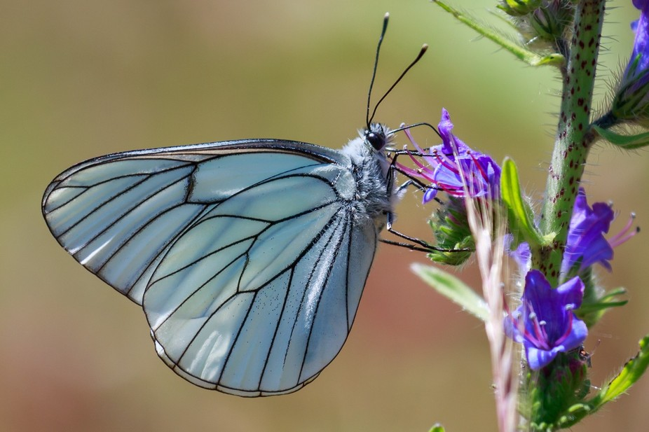 This butterfly was kind enough to stop flying for a few seconds: I had never seen one like that b...