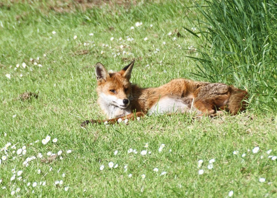 Lazy day for Mr Fox