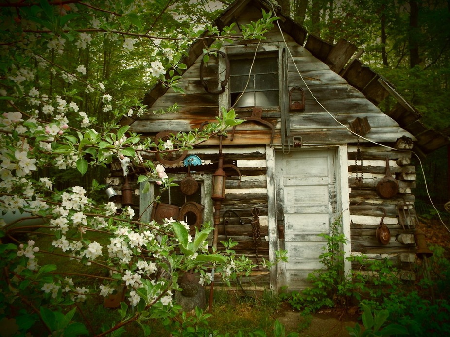 The old ice shack in apple blossoms