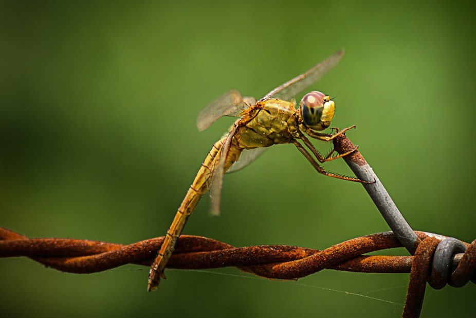 its a macro picture of a Dragonfly