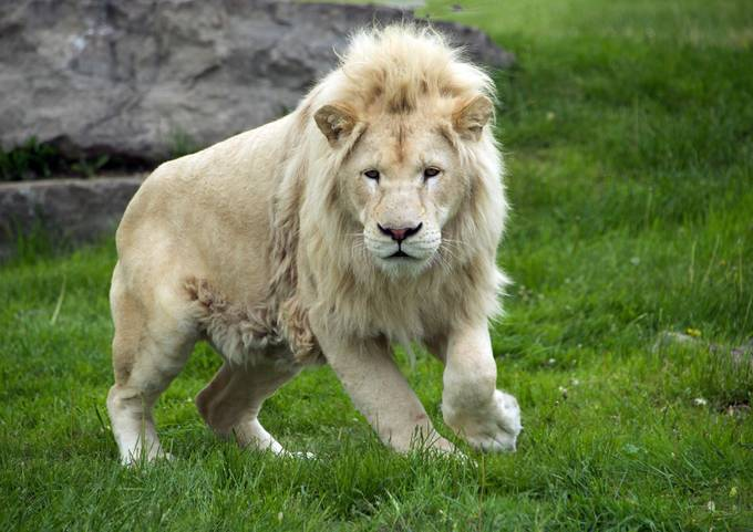 TAKEN AT THE AFRICAN LION SOCIETY MAY 2015