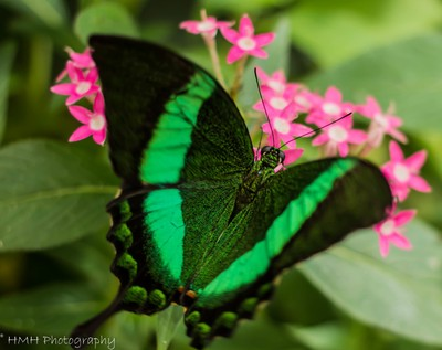 Green-banded Swallowtail Butterfly (Papilio palinurus)
