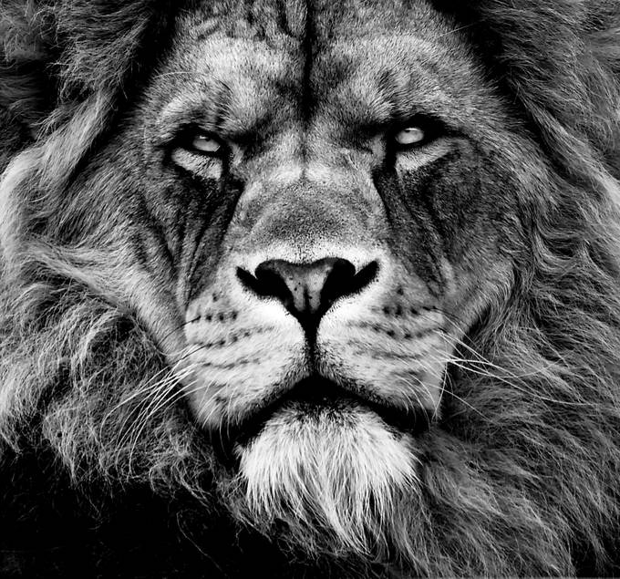 lion2 by Digitalwolfphotography - Awesomeness In Black And White Photo Contest