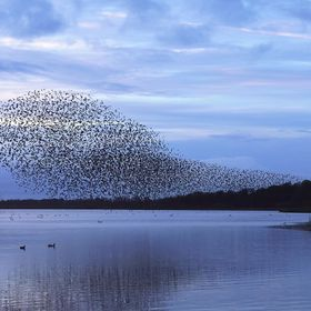 Murmuration of Starlings Over Lake