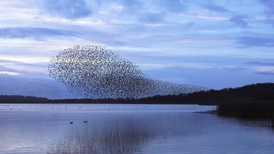 Murmuration of Starlings Over Lake