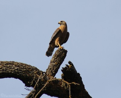 A Red Shouldered Hawk