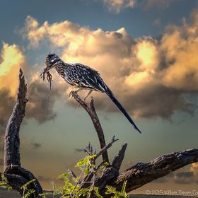 Just after sunrise, I caught this Greater Roadrunner perched (they rarely leave the ground) apparently looking for a good place to enjoy his brea...