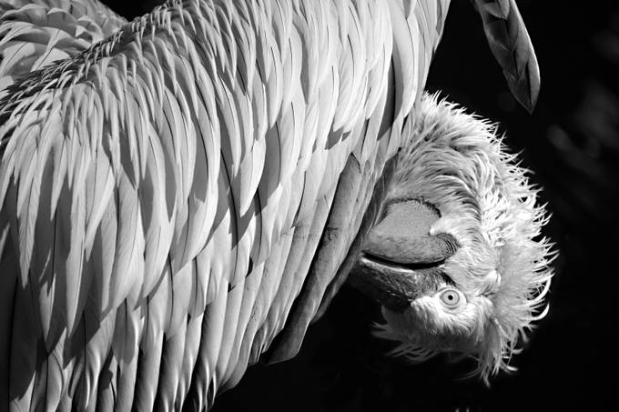 Pelican Scratch (BW) by AlanC - High Contrast In Black and White Photo Contest