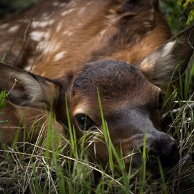 I was photographing a mother Elk when I stumbled upon her calf. The mother seemed to be looking for something. I didn't see them actually re...