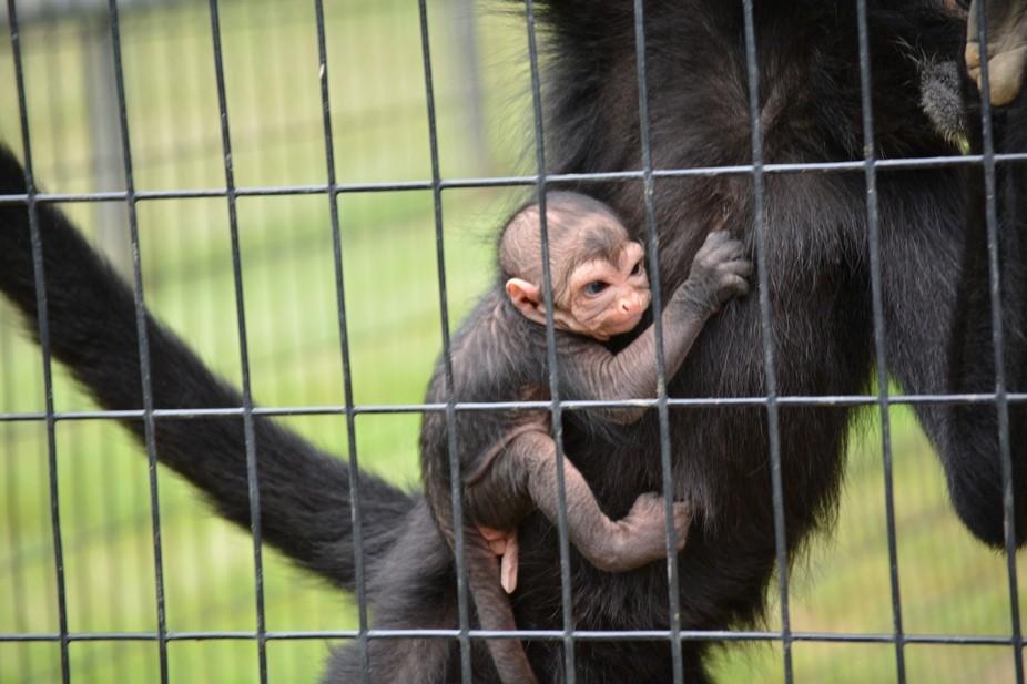 This spider monkey was 6 days old.