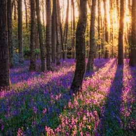 Evening light catches a cacophony of bluebells in Warwickshire woodland.
