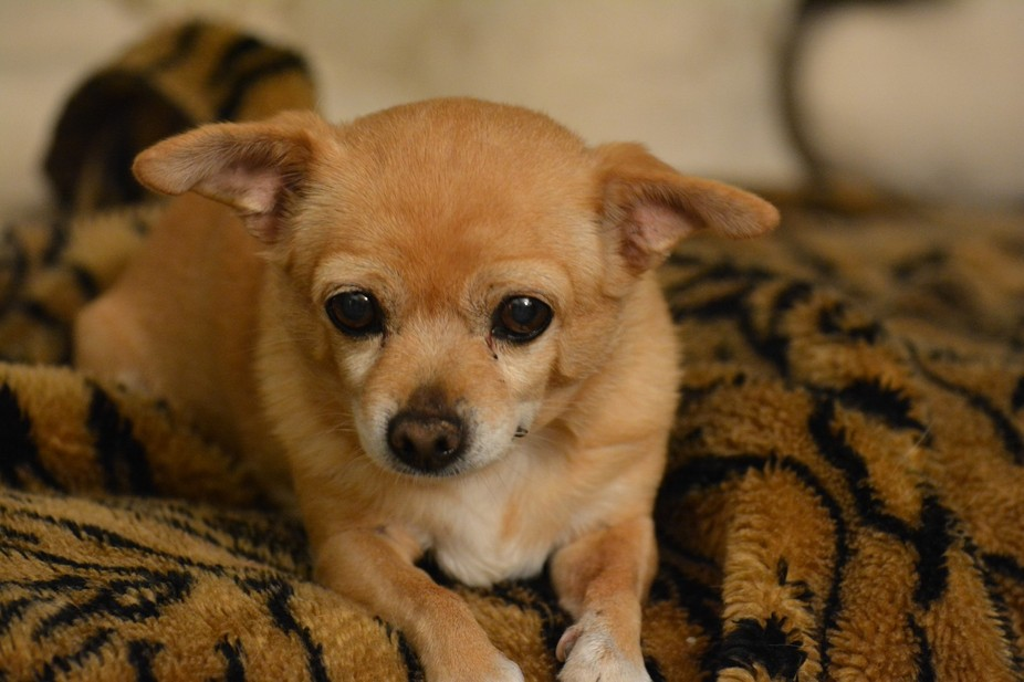 Mini-me was my mom\'s dog who was a rescue dog.  She was not your typical chihuahua. My dog Scout ...