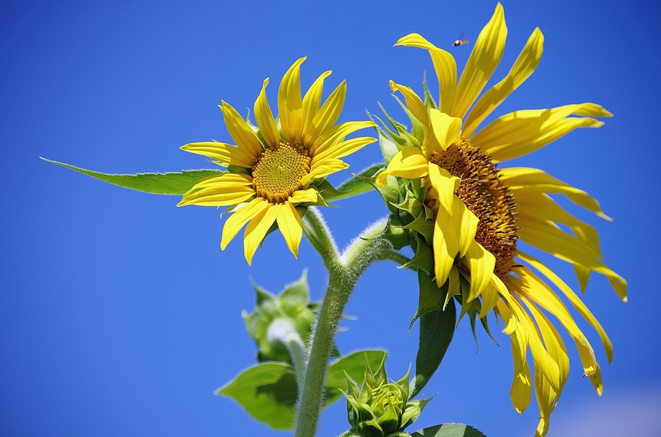 Sunflower: The big and the small