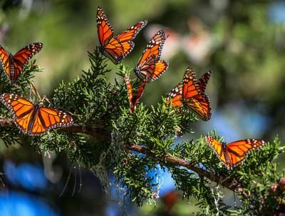 Monarchs Monarchs Monarchs