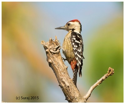 Fluvous breasted woodpecker
