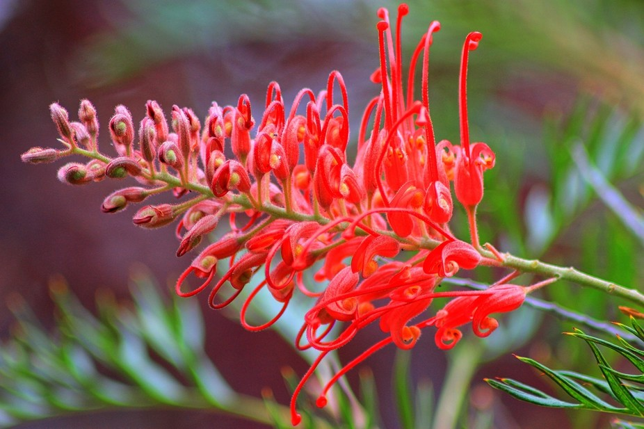 The Grevillea is a native plant of Australia.