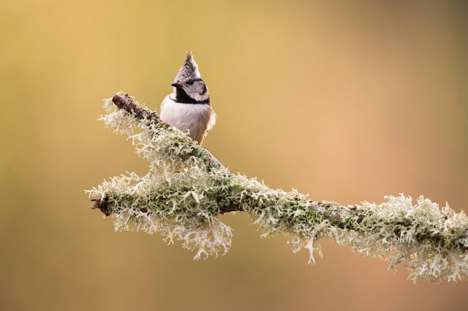 Wild Crested Tit taken in the Cairngorms National Park, Scotland