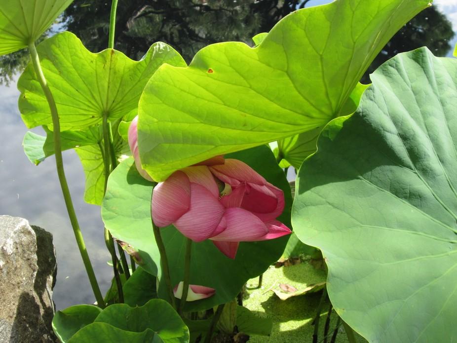 Nelumbo Rosy Clouds Hardy Lotus    _1423