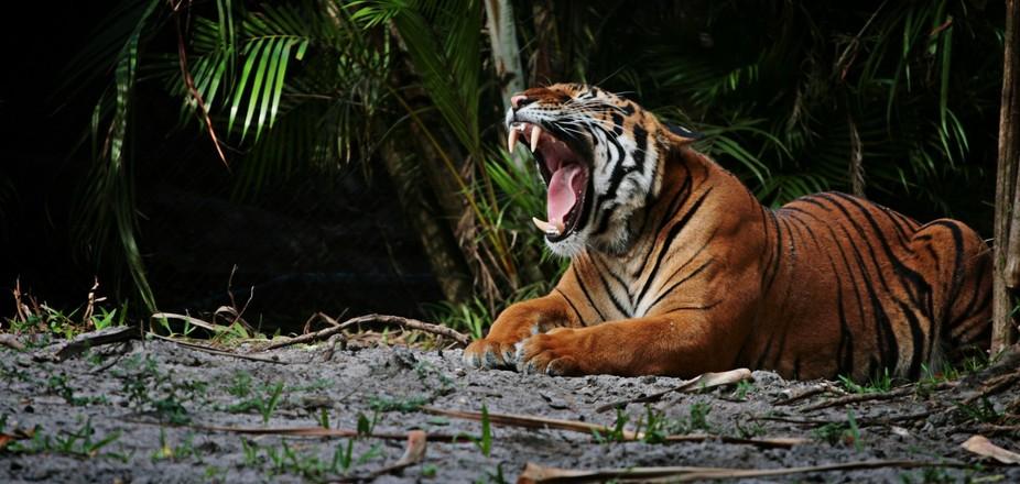 Palm Beach Tiger