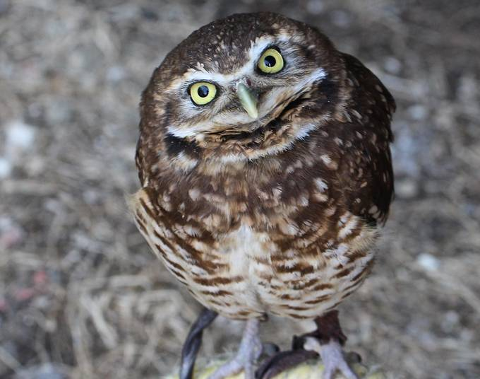 Burrowing owl by lynhope - Beautiful Owls Photo Contest