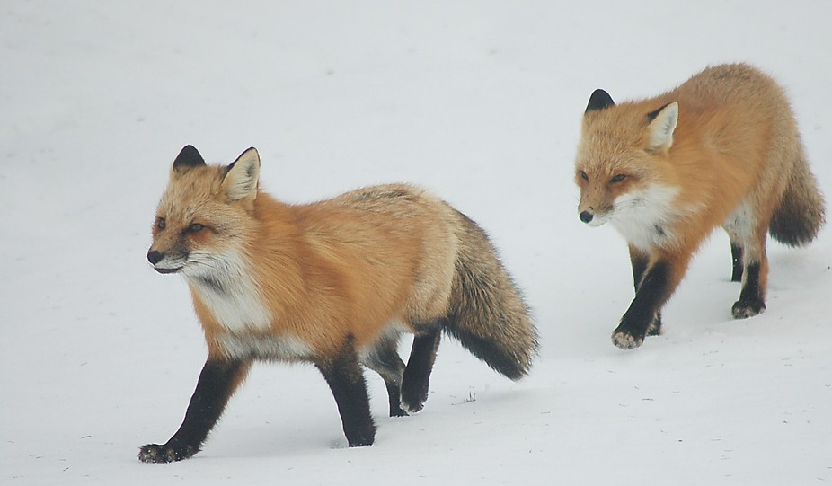 foxes to send