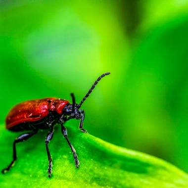 A lily beetle responsible for holes in our lily leaves.. amazing colour