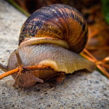 A snail climbing out of the flower garden onto the sidewalk.