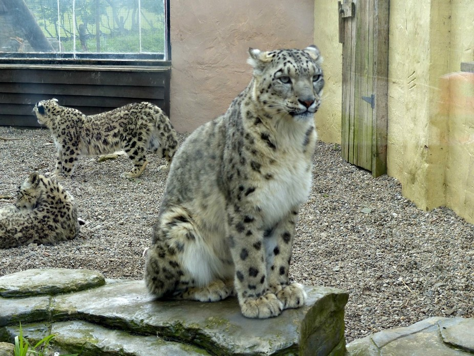 Lakeland Wildlife Oasis park have a breeding pair of these endangered animals, there are 2 year old cubs, this is the mum