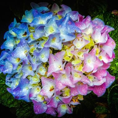 A multicolored Hydrangea. Color variation in same flower induced by the addition of iron into the soil.