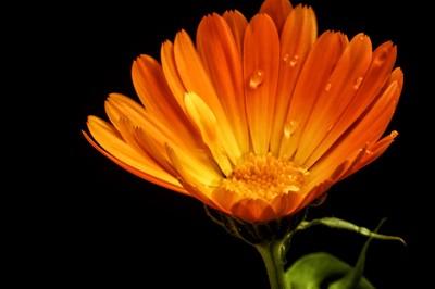 Calendula Asteraceae