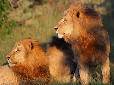 The Lion Kings!!
