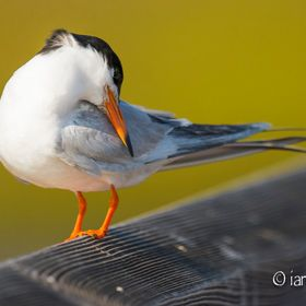 I had been watching a group of these Forster's terns diving around me fishing for their dinner. This little guy needed a break and joined me on t...