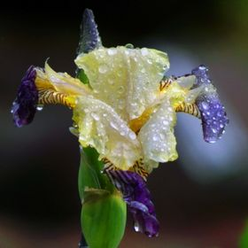 An iris in the morning after a heavy rainfall