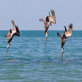 Brown Pelicans diving for fish just above the water in synchronized format