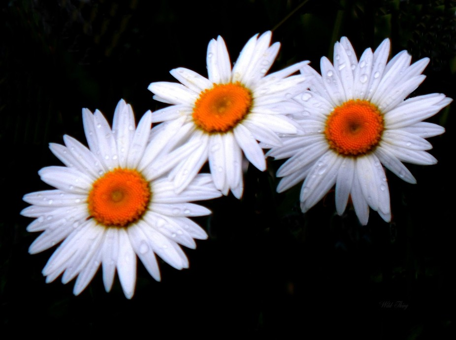 Loved how the daisies lined up ... and the little drops of rain on them sat. Again, the black bac...