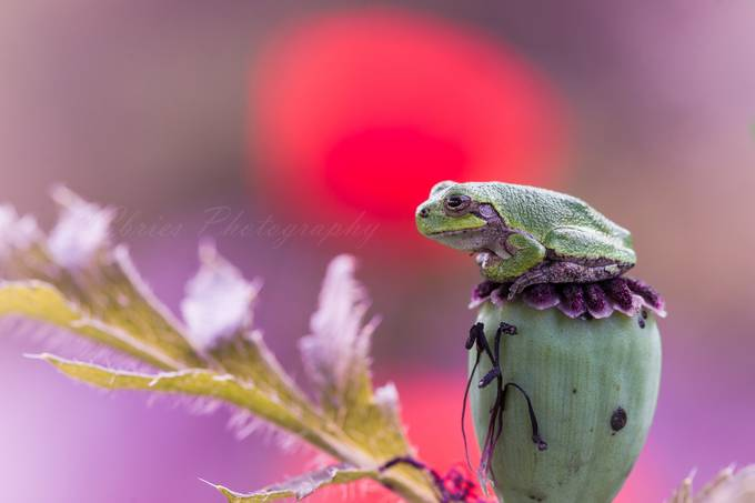 Frog on poppy by Cbries - Small Things In Nature Photo Contest
