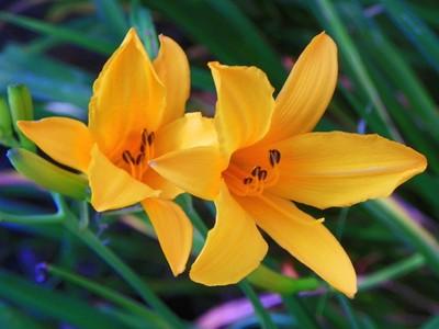 Stella de Oro Day Lilies