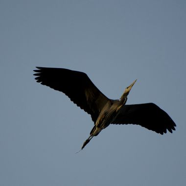 Flight of a Heron
