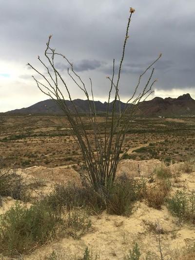 Octillio Cactus