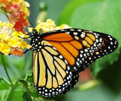 monarch beauty