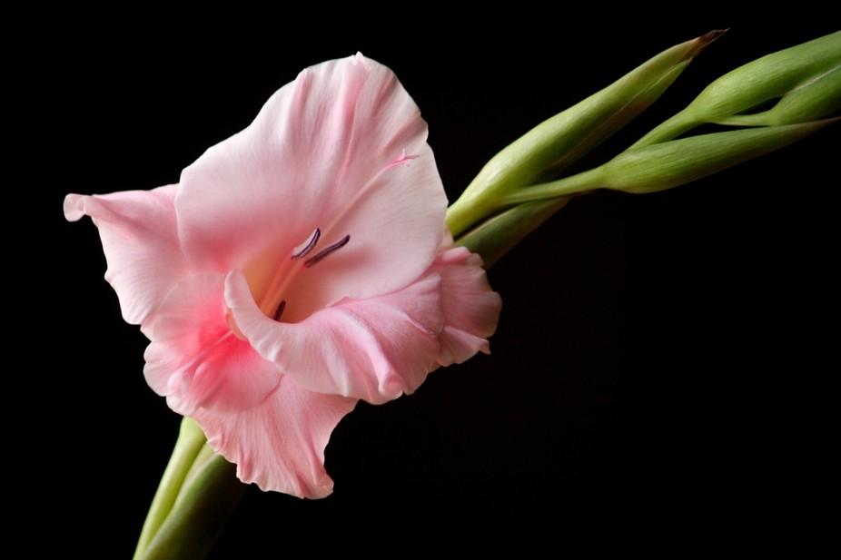 Pink Gladiola